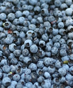 Maine wild blueberries