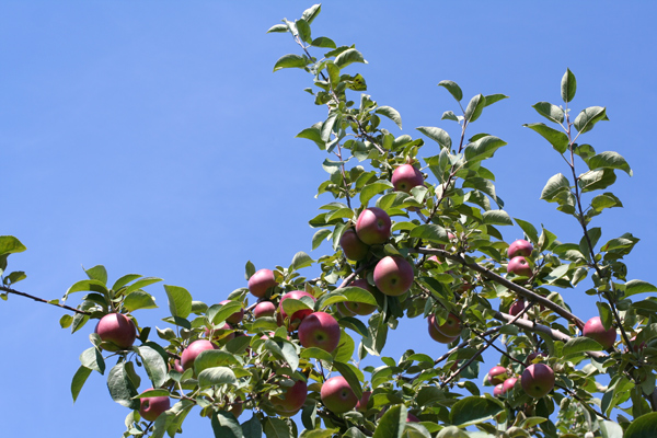 apple-picking-915