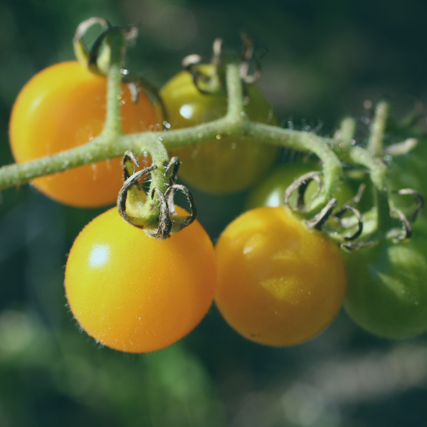join a csa for the tomatoes